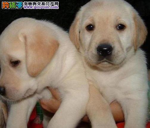 知名犬舍出售多只赛级拉布拉多质保三年支持送货上门