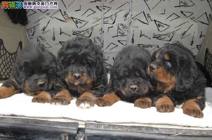 专业的繁殖狗场 驱虫疫苗按时做好 直销高品质藏獒犬