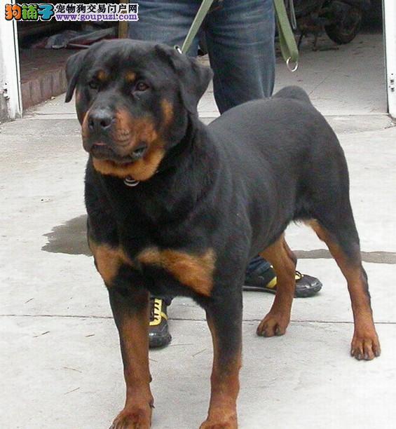自家繁殖的纯种罗威纳找主人微信咨询看狗