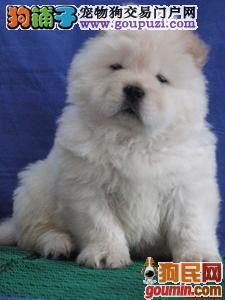 超级可爱的松狮宝宝出售啦!欢迎选购!低价!
