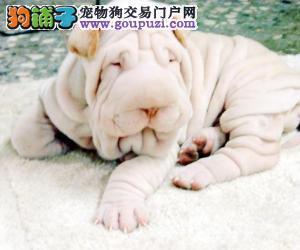 精品高品质沙皮狗宝宝热销中微信咨询看狗狗照片