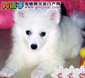 重庆低价出售漂亮美丽银狐犬