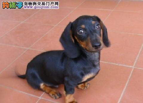 呼和浩特家养赛级腊肠犬宝宝品质纯正签署质保合同