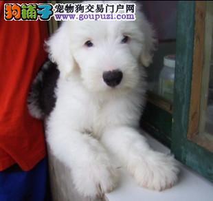 出售高品质白头古幼犬宝宝,公母都有