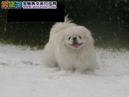 兰州纯种犬繁殖基地出售京巴纯种健康质