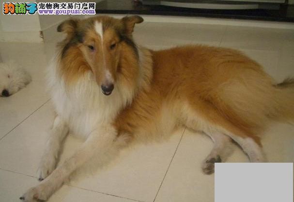 出售极品苏牧幼犬完美品相赠送全套宠物用品