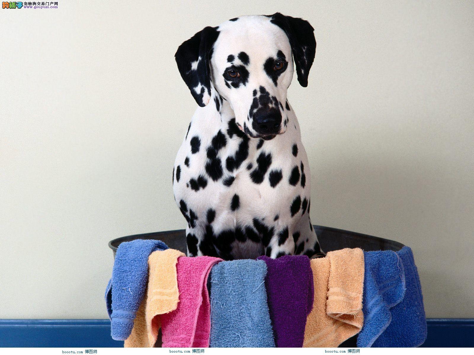 出售纯种斑点狗 斑点狗价钱 保纯种健康可签合同