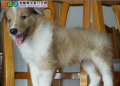 纯种犬繁殖基地出售苏牧幼犬纯种健康质保