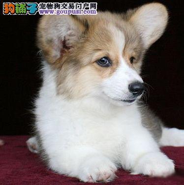 徐州知名犬舍出售多只赛级柯基实物拍摄直接视频