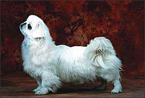 CKU认证名犬 纯种高品质京巴 重庆京巴幼犬出售
