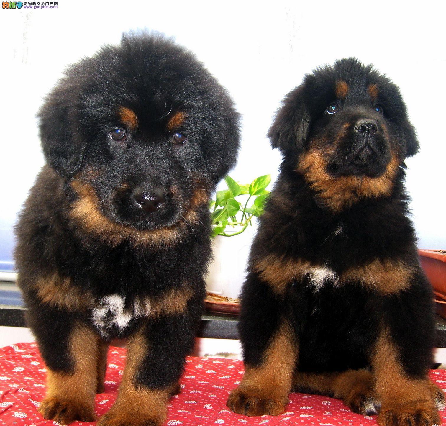 藏獒/出售血统纯正品质保障 藏獒幼犬[两个月公母全有]
