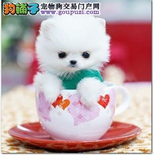 本地出售高品质茶杯犬宝宝诚信经营良心售后