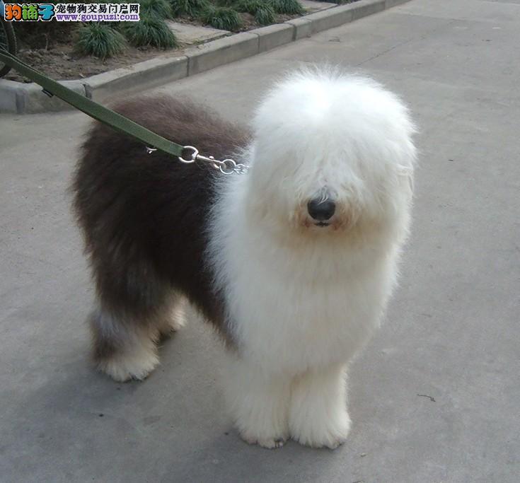 出售纯白头古牧犬品相好健康质量保证