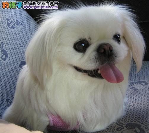 出售京巴幼犬、自家繁殖保养活、提供养狗指导