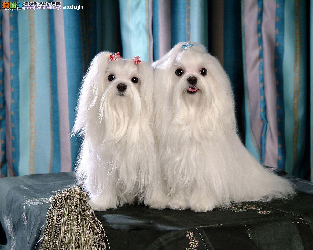 出售/超可爱马尔济斯幼犬/健康纯种