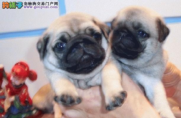 哈尔滨地区出售巴哥幼犬 出售哈叭狗巴哥宝宝