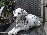 纯种斑点狗直销、一宠一证证件齐全、提供养护指导