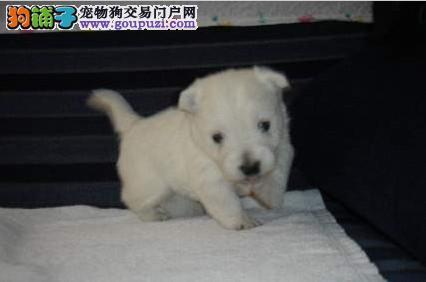 出售纯种西高幼犬宝宝-纯种健康质保!