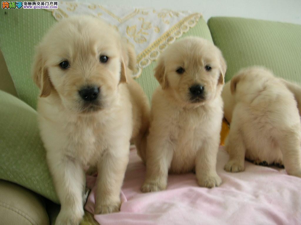金毛 不以价格惊天下 但以品质惊世人爱狗人士优先狗贩勿扰