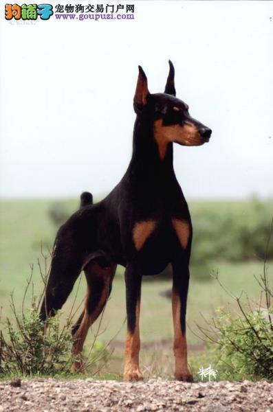郑州实体店热卖杜宾犬颜色齐全签署各项质保合同