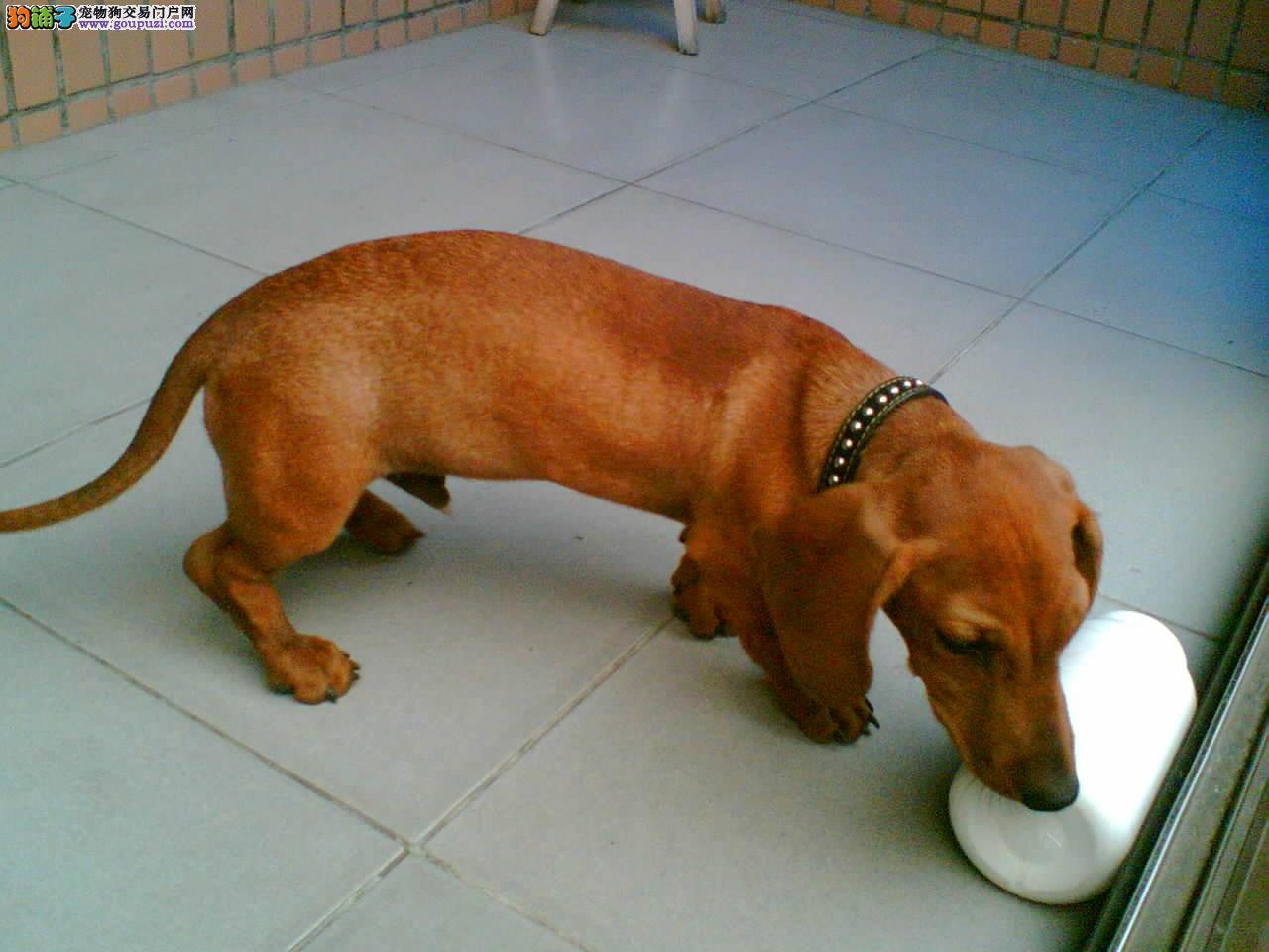 腊肠犬海口CKU认证犬舍自繁自销可刷卡可视频