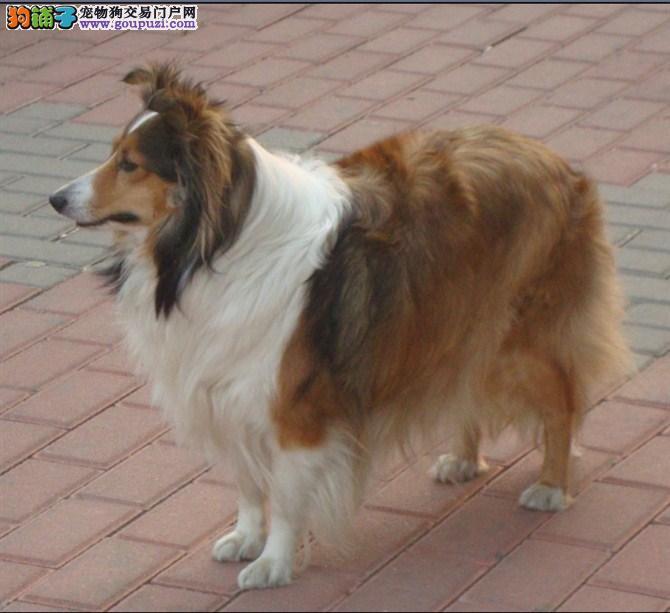 纯种犬培育中心售高品质喜乐蒂犬签质保三年可送货
