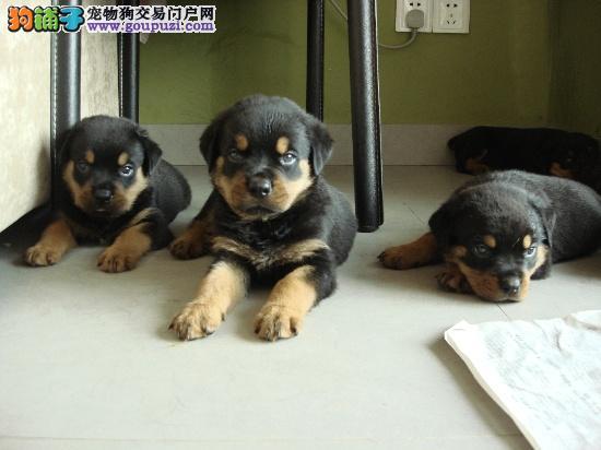 出售纯种罗威纳幼犬两三个月均有健康质保