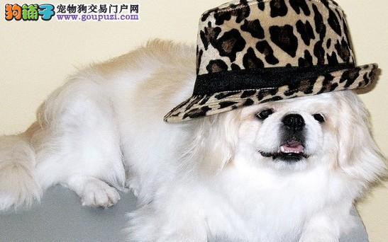 深圳哪里有卖京巴犬 京巴犬什么价格