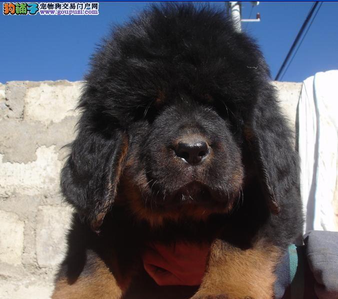 邢台/出售纯种红獒铁包金狮子头藏獒幼犬[两个月公母全有]