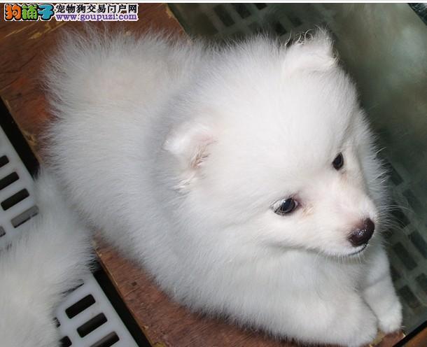 长沙纯种银狐犬多少钱一只 是纯种健康的吗
