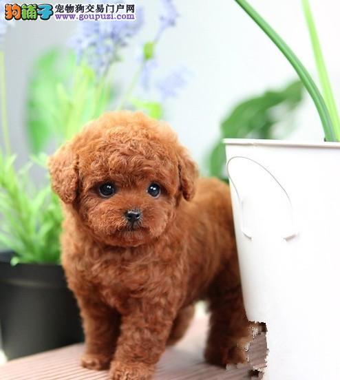 韩国血统泰迪犬低价转让 欢迎来沈阳本地犬舍购买
