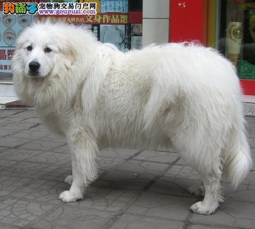 外形酷似雪獒的 大白熊幼犬 健康保证