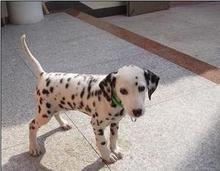 威尔犬业-斑点幼犬销售中,详情请加QQ!