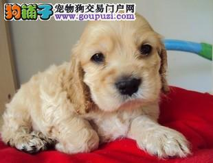 出售人见人爱的可卡幼犬 品质保证