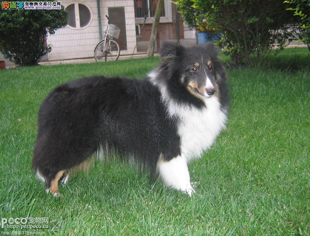 基地售纯种极品喜乐蒂幼犬、品质保证欢迎选购