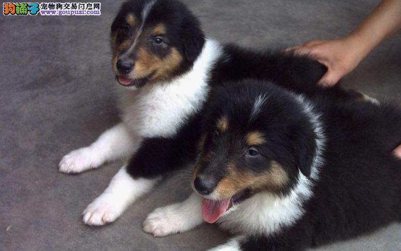 赤峰自家狗场繁殖直销苏牧幼犬实物拍摄直接视频
