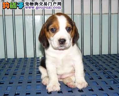 比格 米格鲁小猎犬 明星狗狗 猫狗大战的男一号