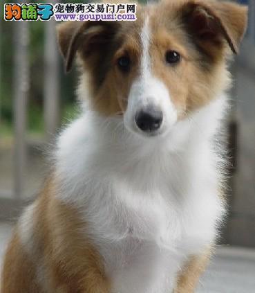 家养苏格兰牧羊犬出售 可办理血统证书 签订正规合同