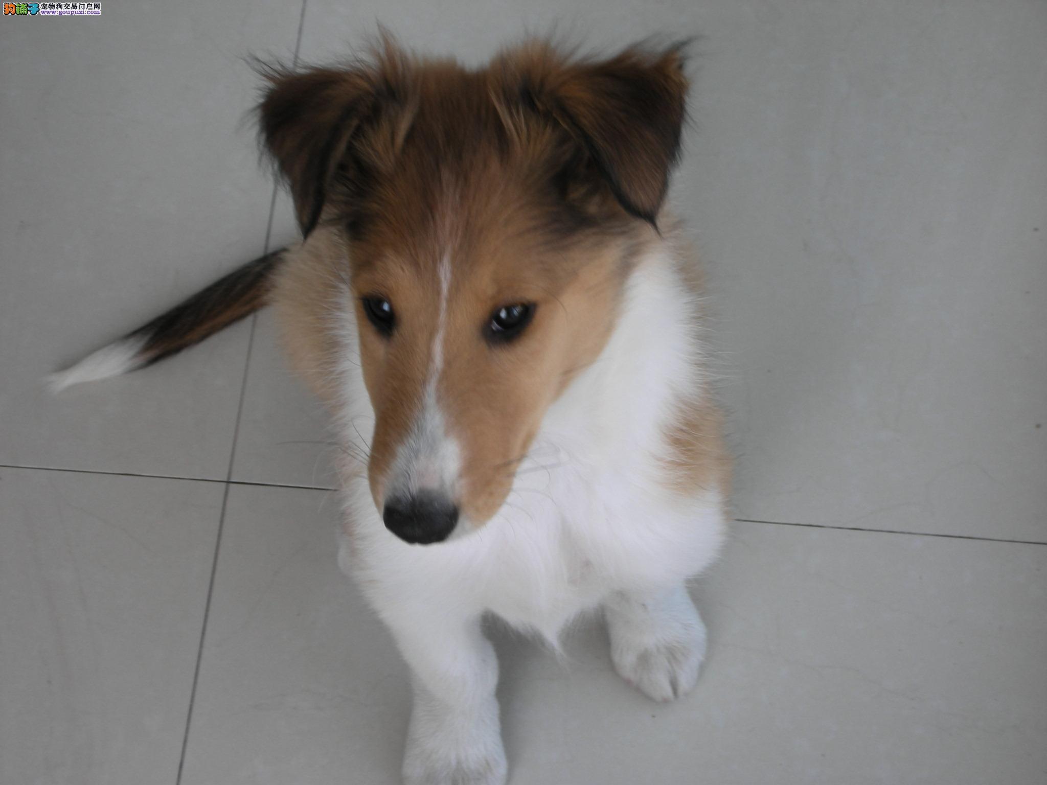 CKU认证犬舍出售纯种苏格兰牧羊犬/幼犬,健康质保。