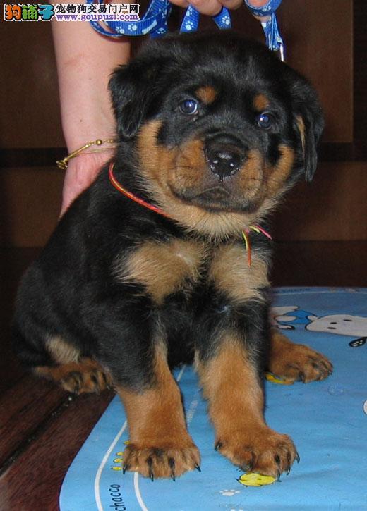 出售罗威纳幼犬品质好有保障均有三证保障