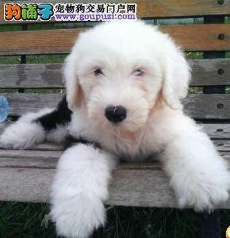 犬舍直销/古牧幼犬/纯种健康质保签订协议