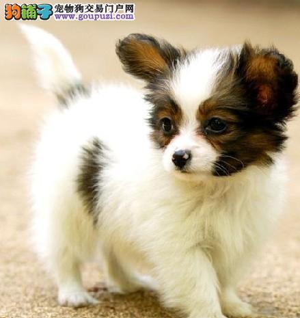 身材苗条的蝴蝶犬出售啦,望各位来选购 可送货上门