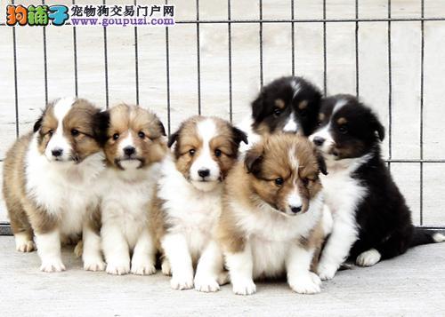 喜乐蒂牧羊犬纯种赛级三色喜乐蒂1-3月公犬幼犬