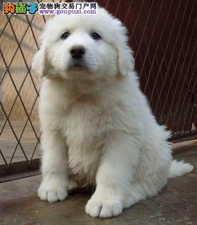 武汉自家繁殖憨厚老实的大白熊出售健康有保障完美售后