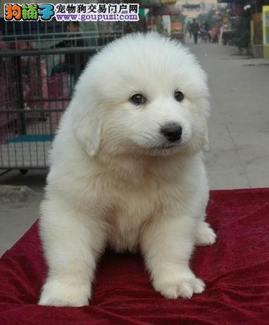 纯种大白熊幼犬终身品质保障品相极佳确保健康