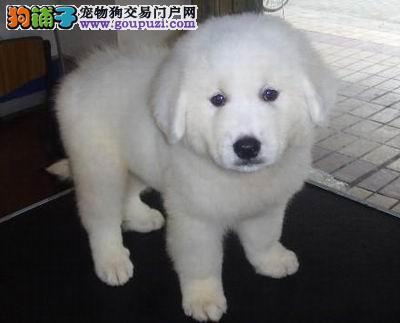 可爱 憨厚 的 大白熊 幼犬,已做疫苗。