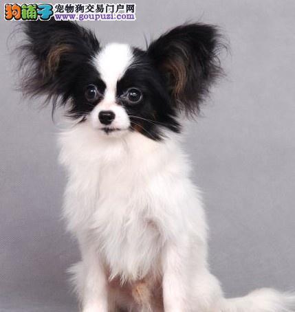 杭州最大基地出售纯种赛级蝴蝶幼犬宝宝 品相极佳
