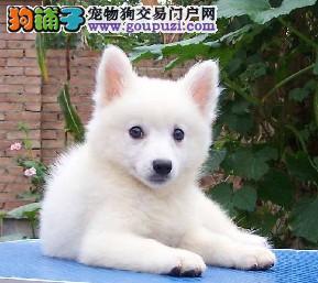 顶级 银狐。犬舍直销、让顾客买的优惠放心和纯种。