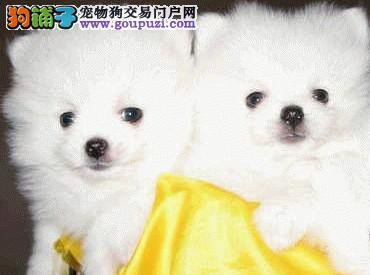 纯种狗狗繁殖的银狐宝宝出售