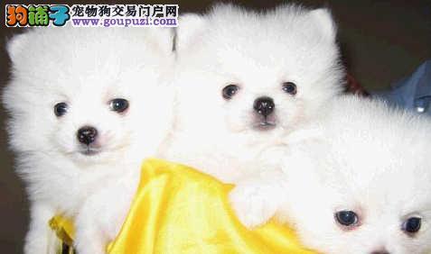 CKU犬舍认证出售高品质郑州银狐犬假一赔万签活体协议
